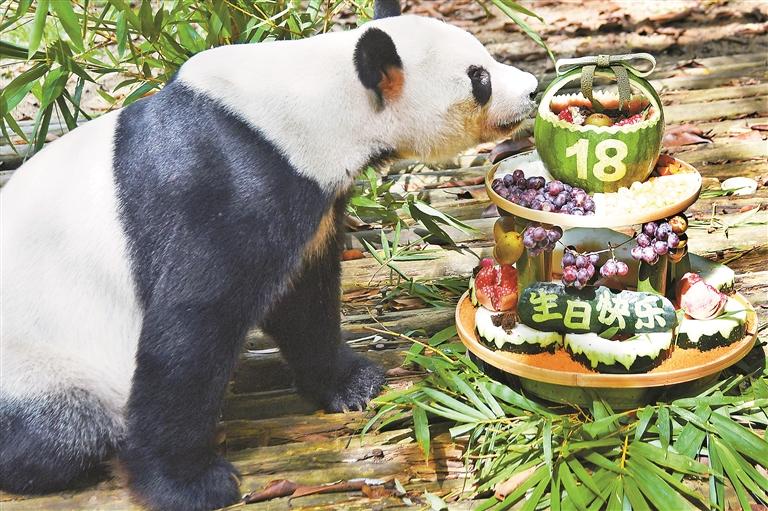 """野生动物园大熊猫""""秋浜""""迎来18周岁生日"""